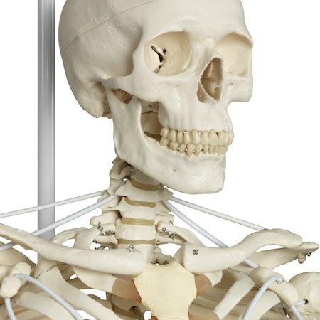 cuerpo humano esqueleto
