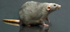 Dónde comprar veneno para ratas y ratones (efectivo)