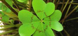 Dónde puedo comprar una planta de trébol de 4 hojas